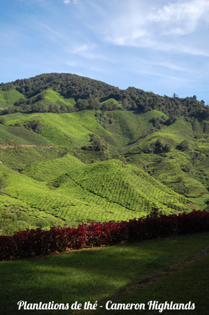 Cameron_Highlands__1_.JPG