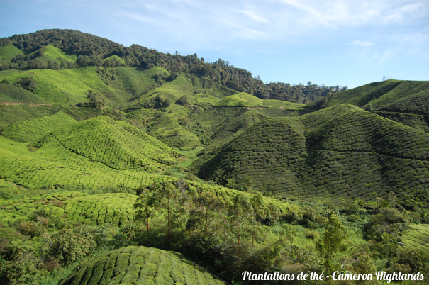 Cameron_Highlands__4_.JPG